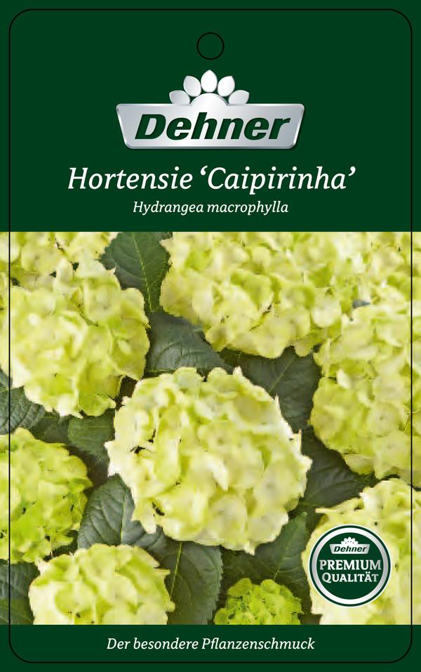 Hortensie 'Caipirinha'