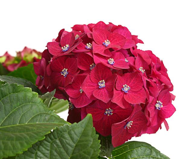 Hortensie 'Red Beauty'