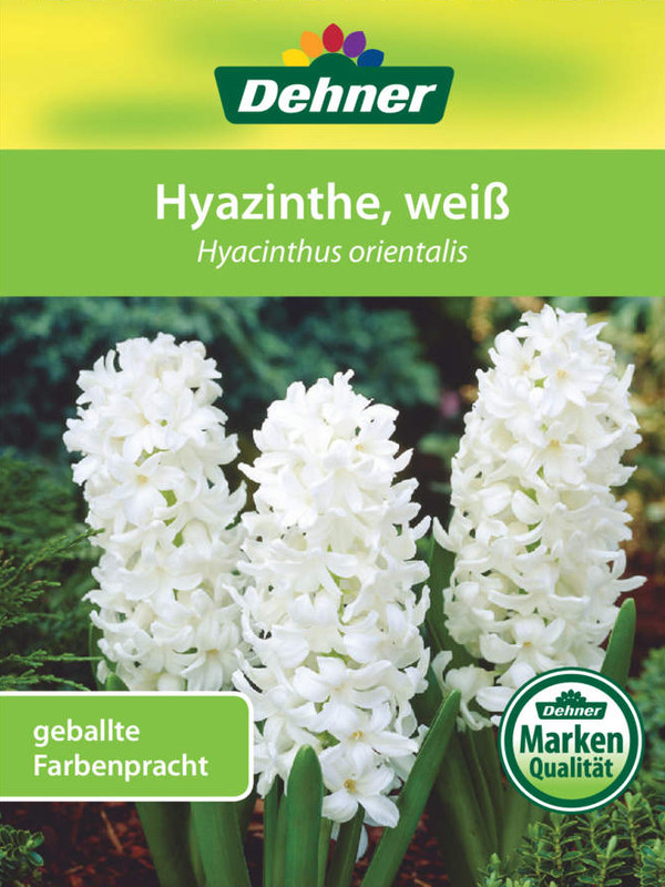 Hyazinthe, 3 Zwiebeln