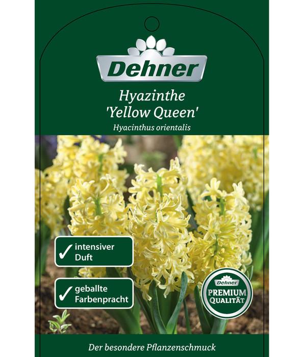 Hyazinthe 'Yellow Queen'