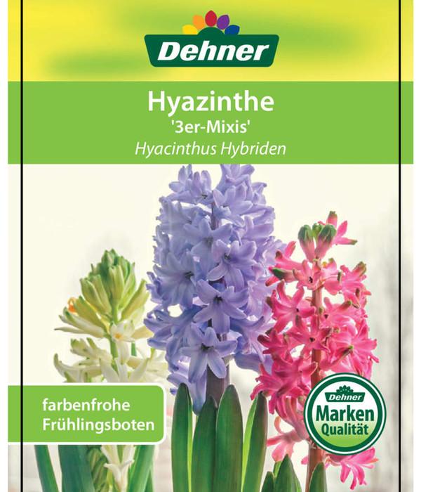 Hyazinthen 'Mixies'