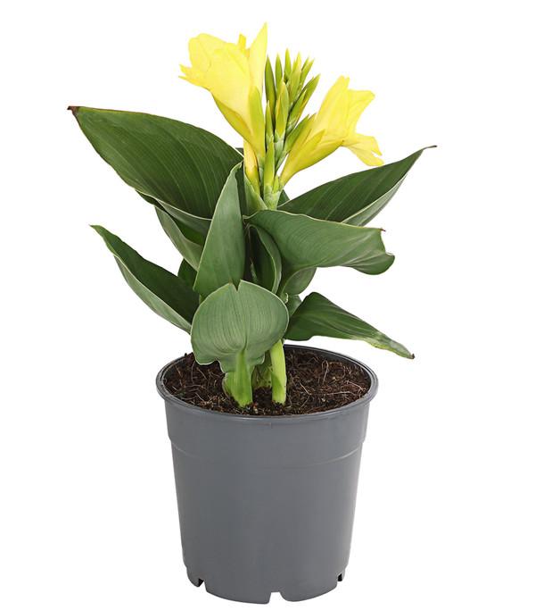 Indisches Blumenrohr, verschiedene Sorten