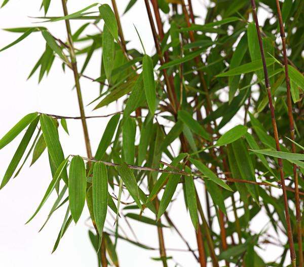 Jade-Bambus 'Jiuzhaigou'
