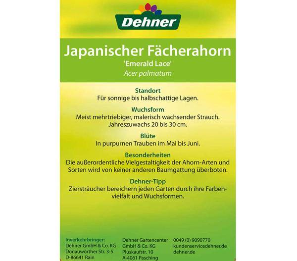 40-60 cm  Dehner Japanischer Fächer-Ahorn Emerald Lace filigrane Blätter ca