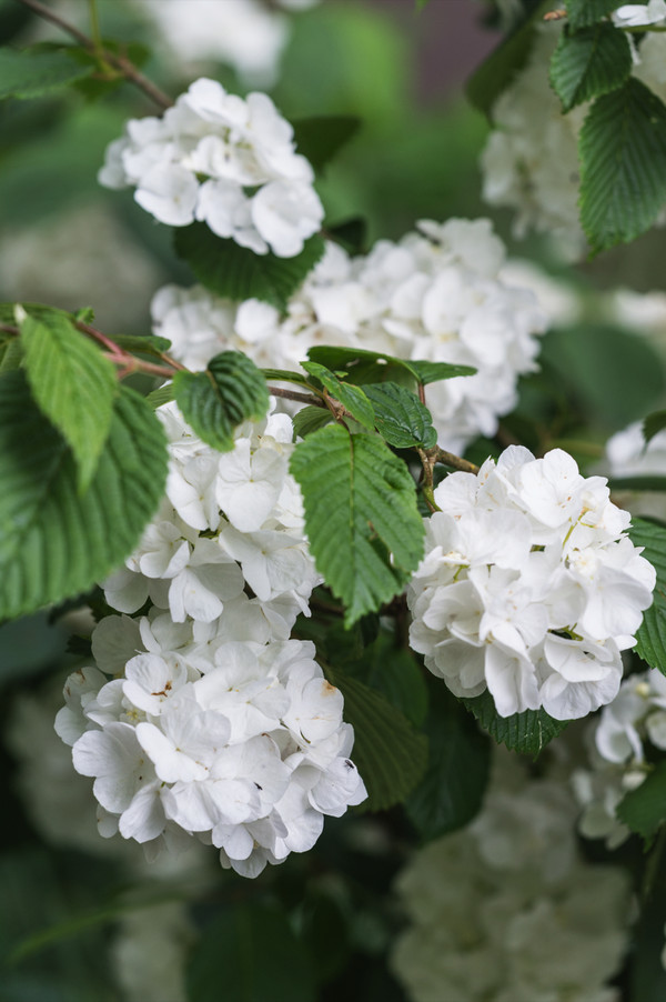 Japanischer Schneeball 'Grandiflorum'