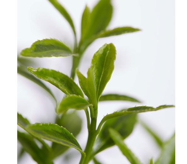 Japanischer Spindelstrauch 'Microphylla Gelb'