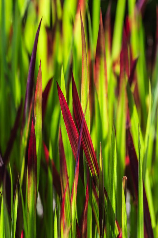 Japanisches Blutgras - Garten-Blutgras 'Red Baron'