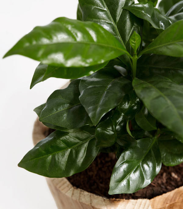 Kaffeepflanze, im Holztopf