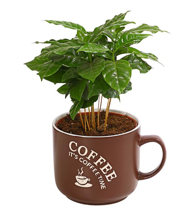 Kaffeepflanze, in Kaffeetasse