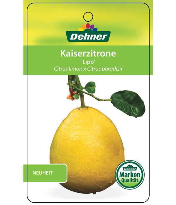 Kaiserzitrone 'Lipo'
