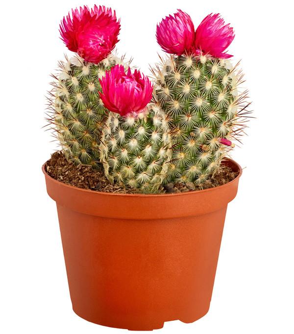 Kaktus, mit Strohblüte