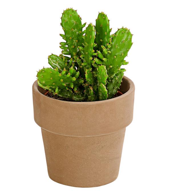Kaktus, Sortenmix, in Keramik