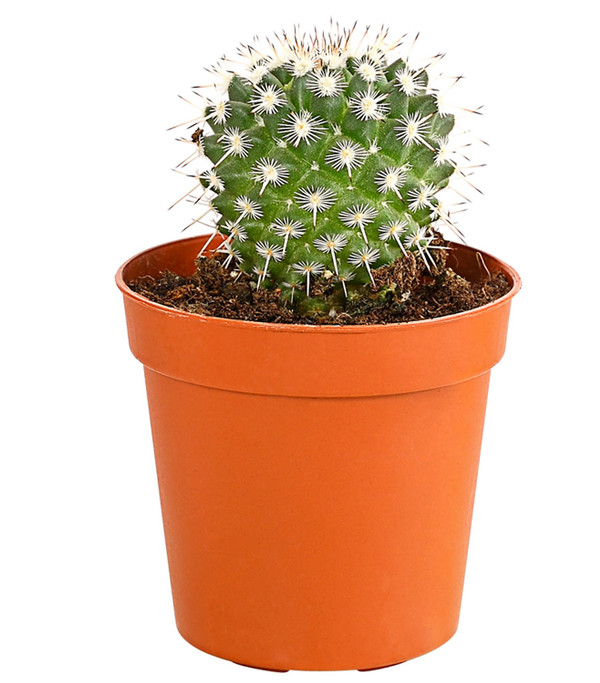 Kaktus, Sortenmix