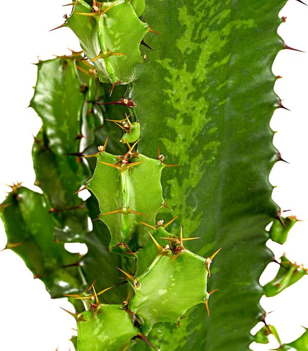 Kaktus wolfsmilch dehner - Wolfsmilch zimmerpflanze ...