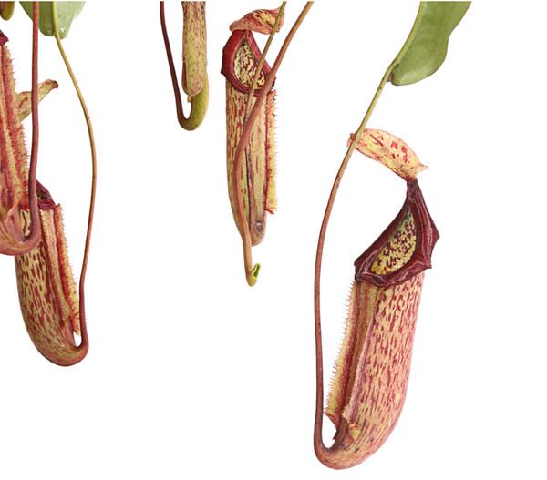 Kannenpflanze, Ampel groß