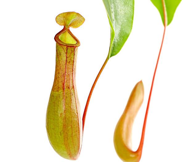 Kannenpflanze, Ampel