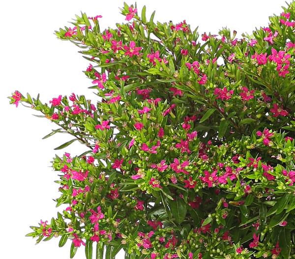 Köcherblümchen, Busch