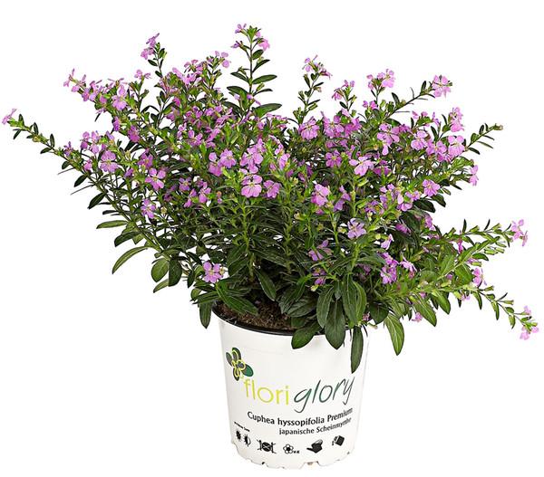 Köcherblümchen 'Floryglory'