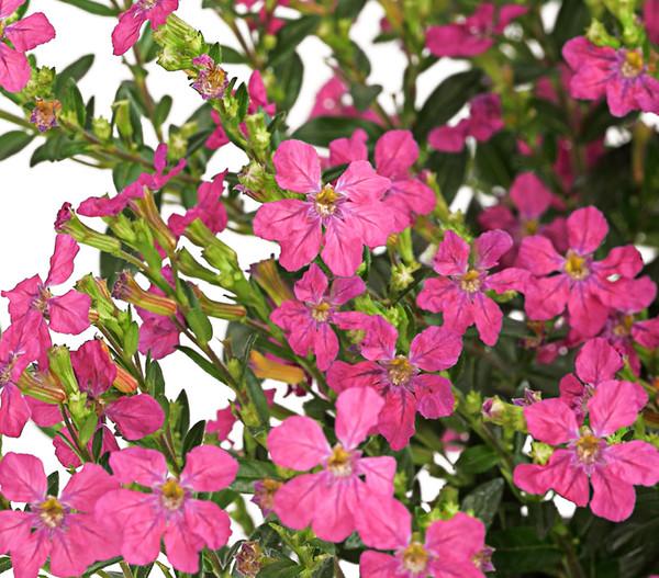 Köcherblümchen