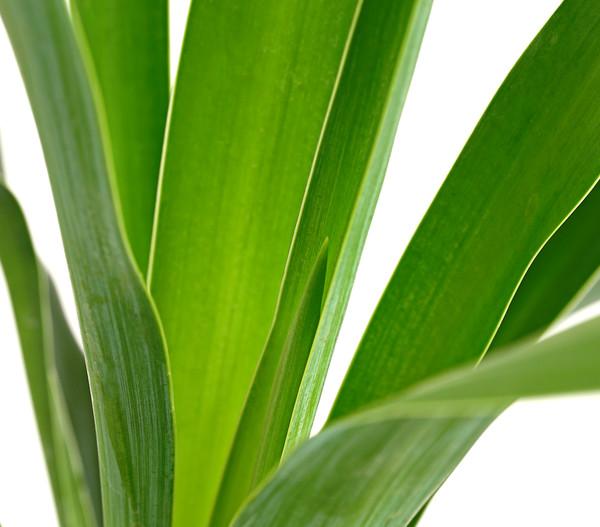 Kerzen-Palmlilie - Palmlilie