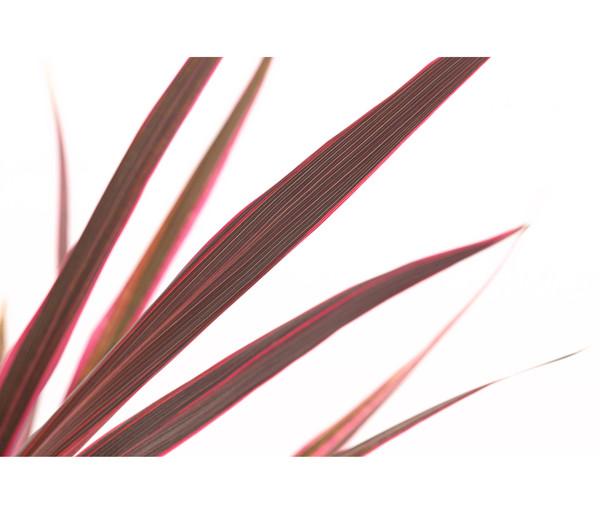 Keulenlilie - Cordyline 'Pink Passion'