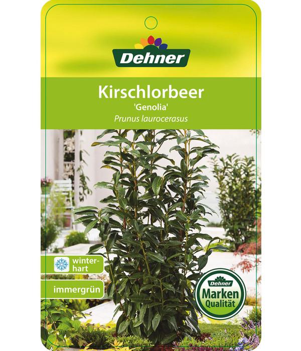 Kirschlorbeer 'Genolia'