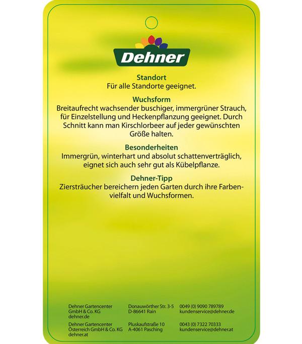 Kirschlorbeer 'Herbergii'