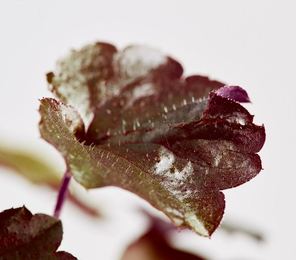 Kleinblütiges Purpurglöckchen
