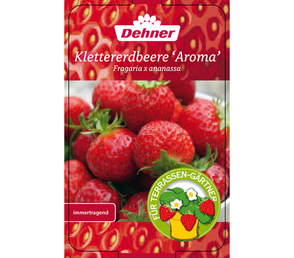Klettererdbeere 'Aroma', 4er-Pack