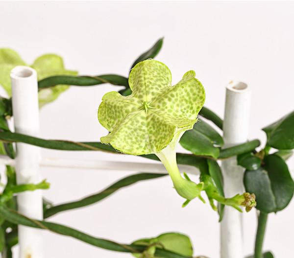 Kletternde Leuchterblume