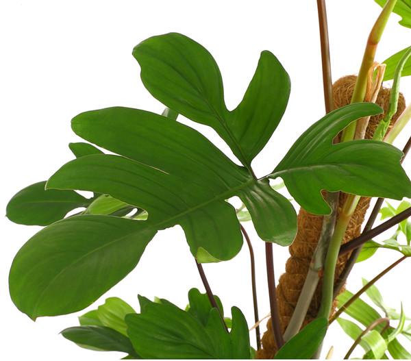 Kletterphilodendron pedatum