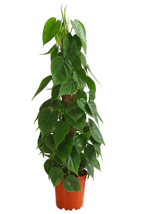 Kletterphilodendron scandens