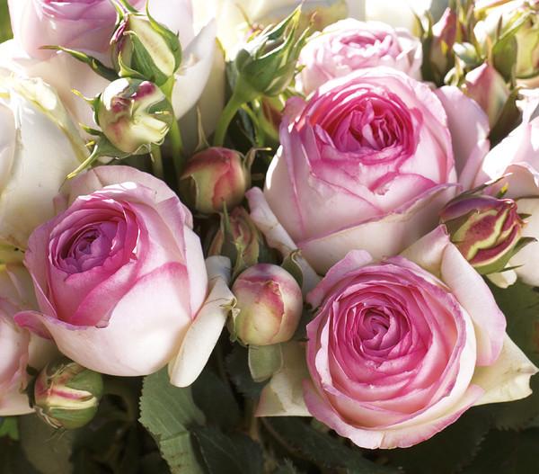 Kletterrose 'Eden Rose®'
