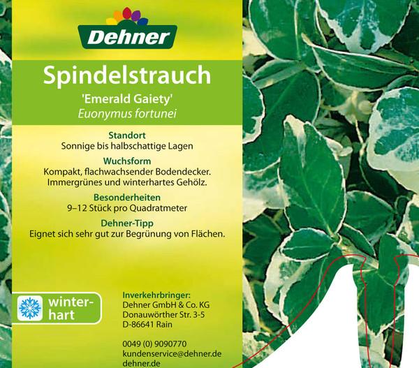 Kletter-Spindelstrauch 'Emerald Gaiety'