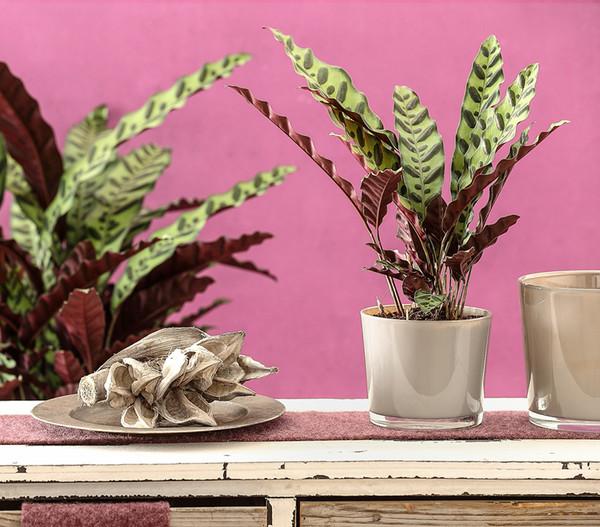 Korbmarante 'Lancifolia'
