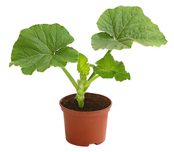Kürbis 'Atlantic Giant', Pflanze