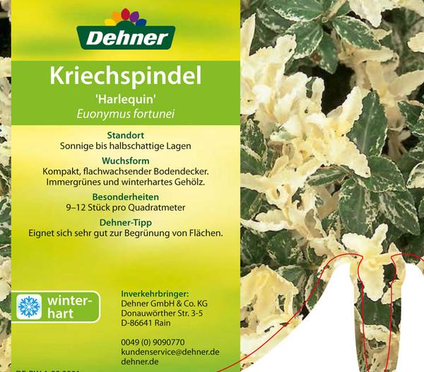 Kriech-Spindelstrauch 'Harlequin'