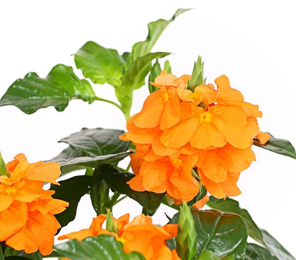 Krossandra, orange