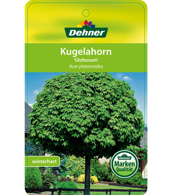 Kugel-Ahorn 'Globosum'