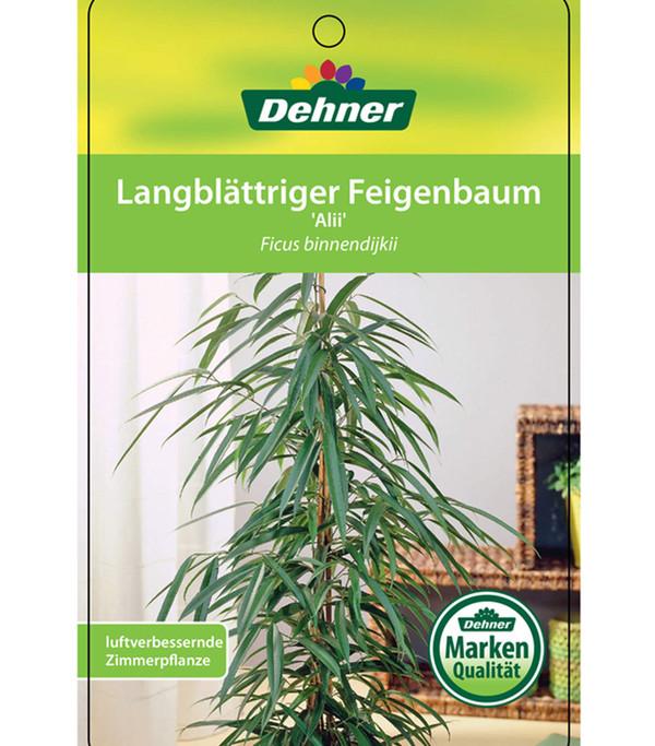 Langblättriger Feigenbaum 'Alii'