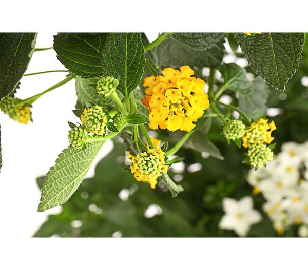 Lantana, bepflanzt