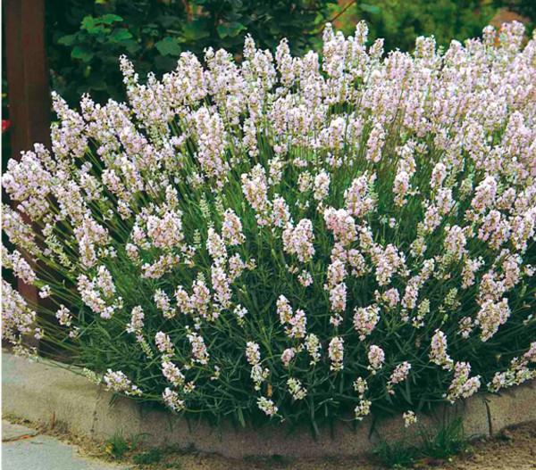Lavendel 'Alba'