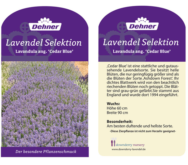 Lavendel 'Cedar Blue'