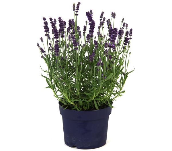 Lavendel 'Dark Surprise'