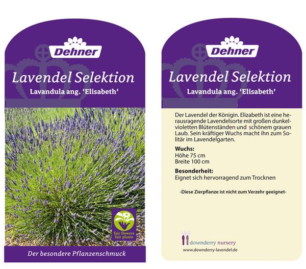 Lavendel 'Elizabeth'