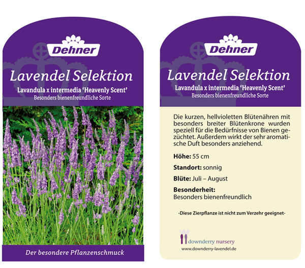 Lavendel 'Heavenly Scent'