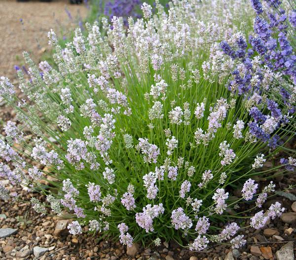 Lavendel 'Lady Ann'