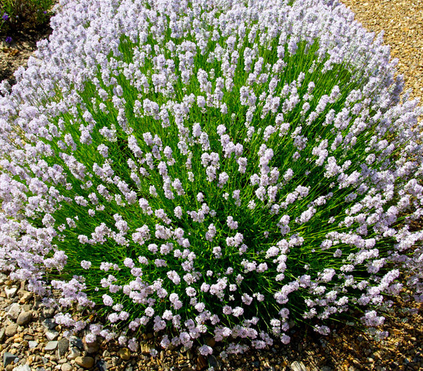 Lavendel 'Little Lottie'