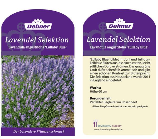Lavendel 'Lullaby Blue'