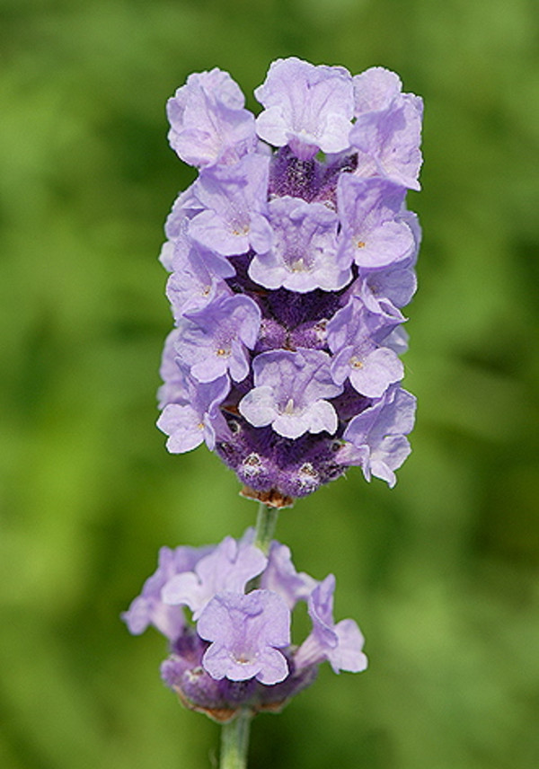 Lavendel 'Melissa Lilac'